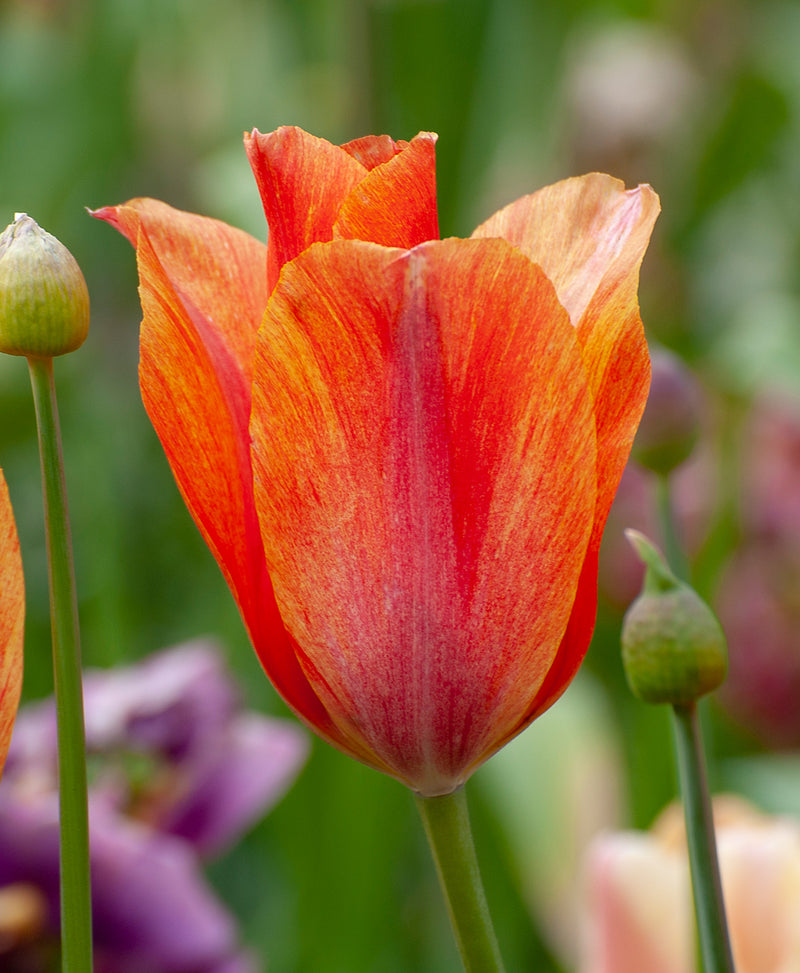 SOLD OUT Dordogne Single Late Tulip - 10 bulbs