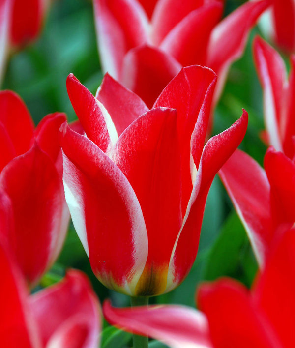 SOLD OUT Pinocchio Greigii Tulip - 10 bulbs