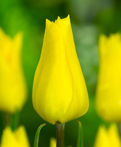 SOLD OUT Yokohama Single Early Tulip - 10 bulbs