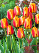 Apeldoorn Elite Striped Darwin Hybrid Tulip - 10 bulbs