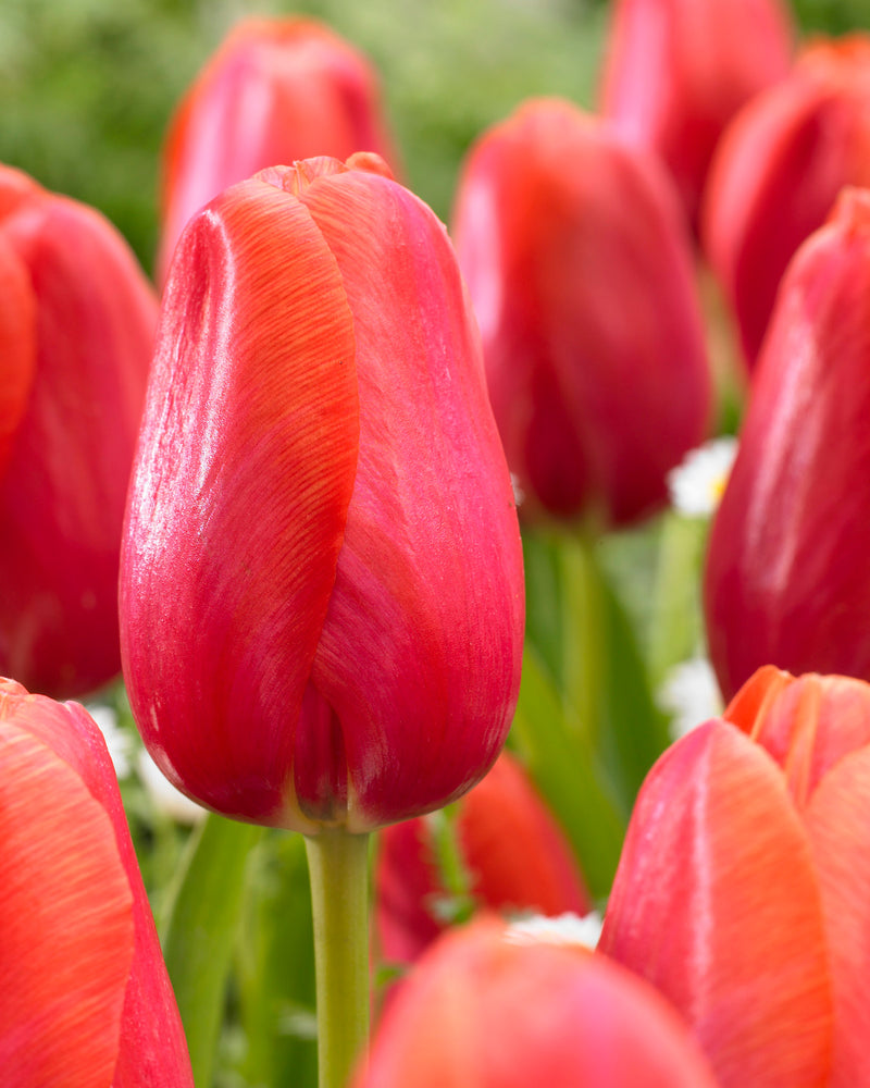 SOLD OUT Avignon Single Late Tulip - 10 bulbs