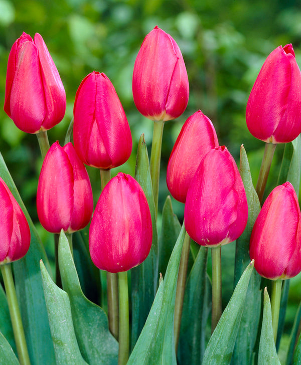 SOLD OUT Grand Style Single Late Tulip - 10 bulbs