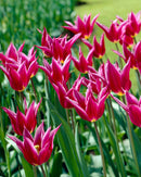 SOLD OUT Maytime Lily Flowering Tulip - 10 bulbs