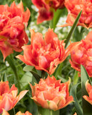 SOLD OUT Orange Nassau Double Early Tulip - 10 bulbs