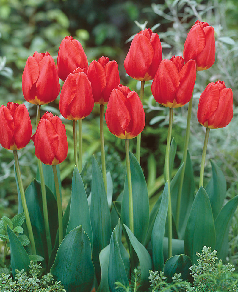 SOLD OUT Oxford Darwin Hybrid Tulip - 10 bulbs