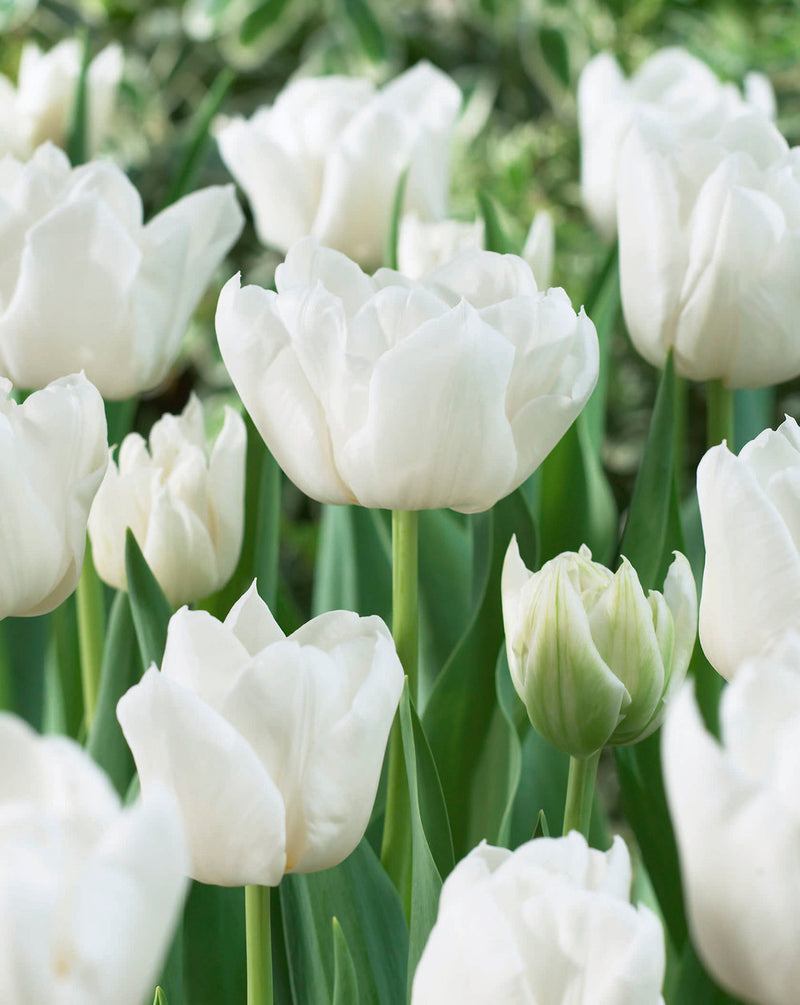 Mondial Double Early Tulip - 10 bulbs