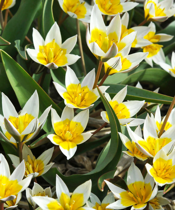 SOLD OUT Biflora Species Tulip - 10 bulbs