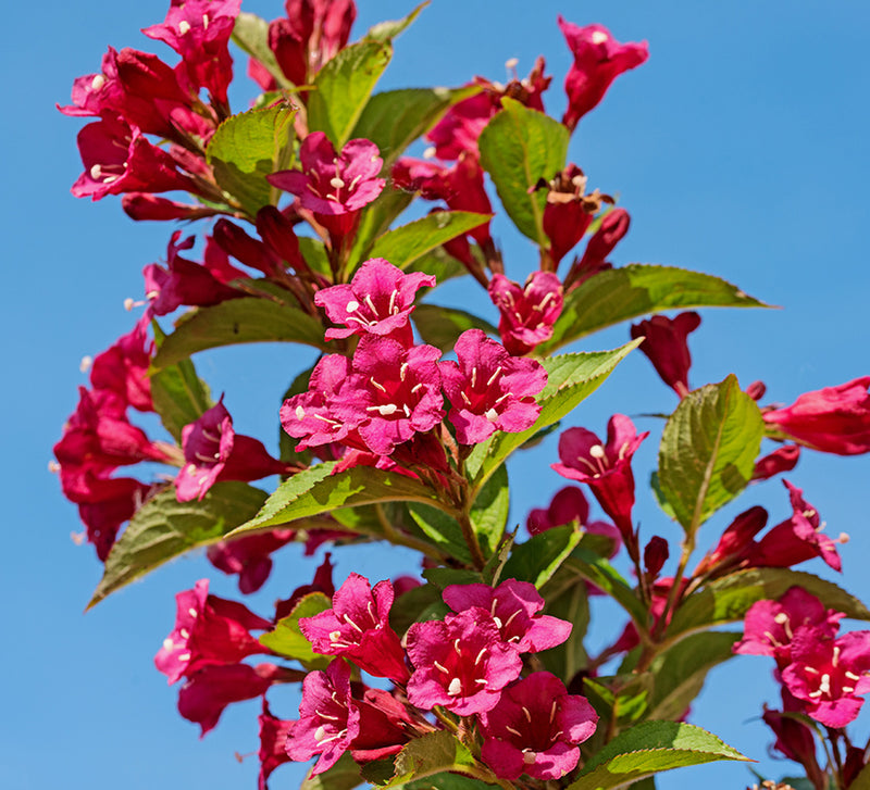 SOLD OUT Weigela Vanicek- 1 Bareroot plant
