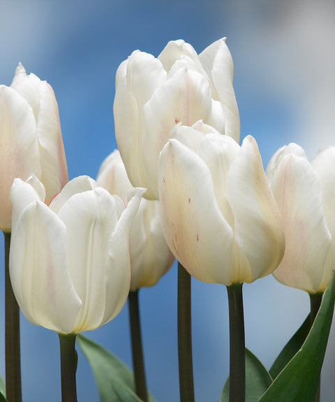 SOLD OUT White Marvel Single Early Tulip - 10 bulbs