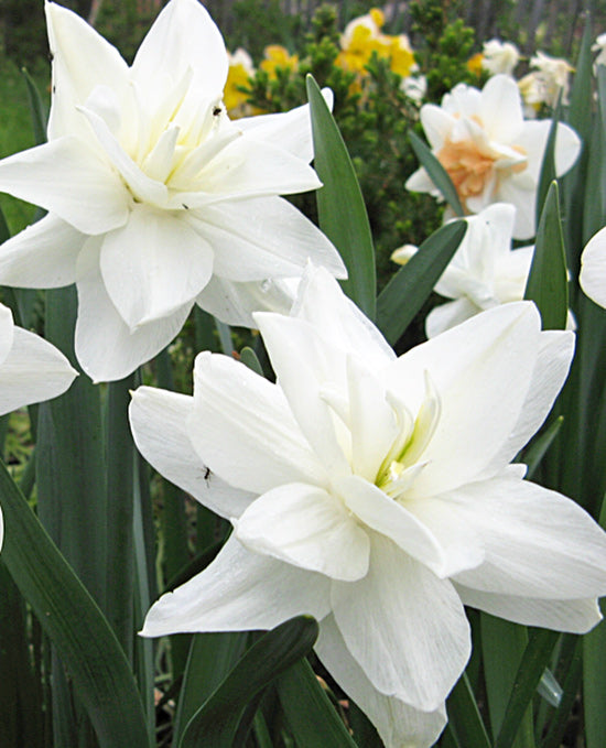 White Medal Double Daffodil - 10 bulbs