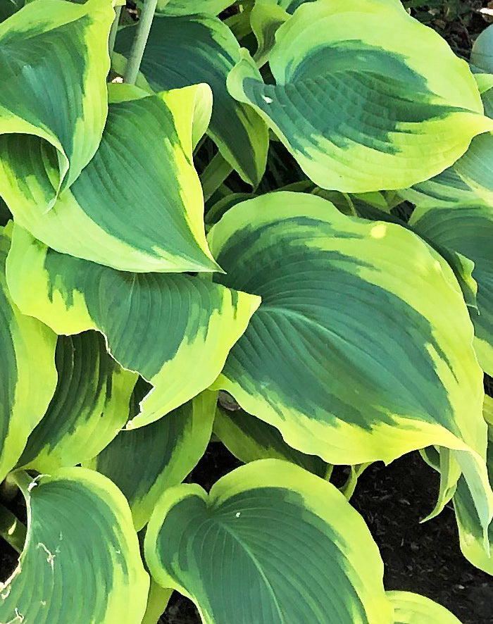 SOLD OUT Wide Brim Hosta - 3 root divisions