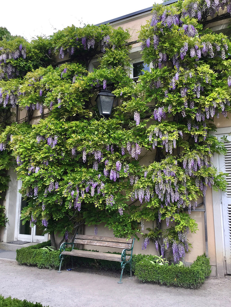 SOLD OUT Wisteria Purple- 1 Bareroot plant