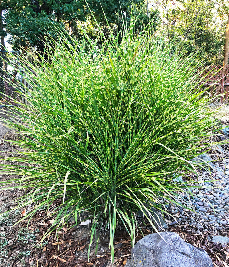SOLD OUT Zebra Grass - 3 bareroot plants