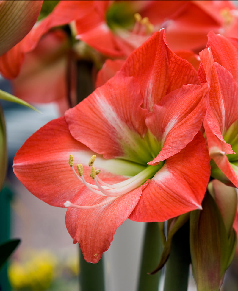 SOLD OUT Nagano Amaryllis Bulb