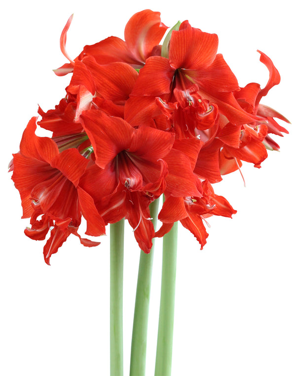 SOLD OUT Fanfare® Mini Amaryllis Bulb
