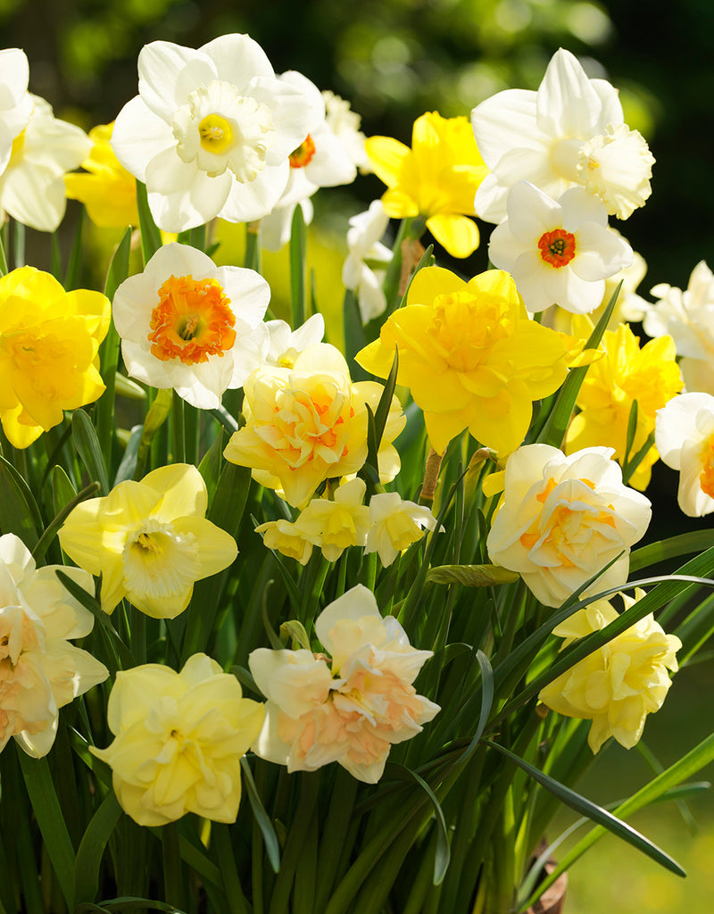SOLD OUT Mixed Daffodils - 30 bulbs