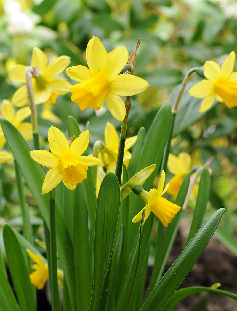 SOLD OUT Tete a Tete cyclamineus Daffodil - 10 bulbs