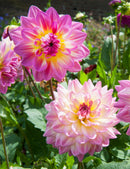 SOLD OUT Blue Eyes Hapet Decorative Dahlia - 3 root divisions
