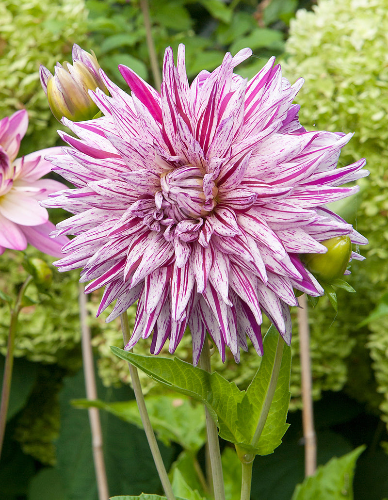 SOLD OUT Mick's Peppermint Cactus Dahlia - 3 root divisions