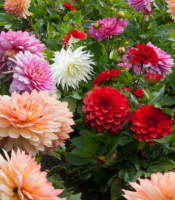 SOLD OUT Mixed Dahlias - 9 root divisions