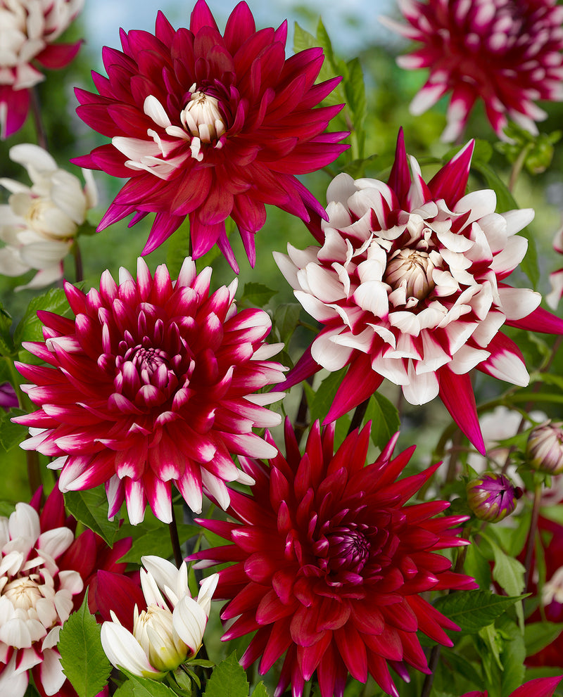 SOLD OUT Rebecca's World Decorative Dahlia - 3 root divisions