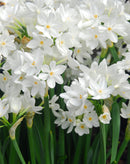 SOLD OUT Ziva Jumbo Paperwhites - 10 bulbs