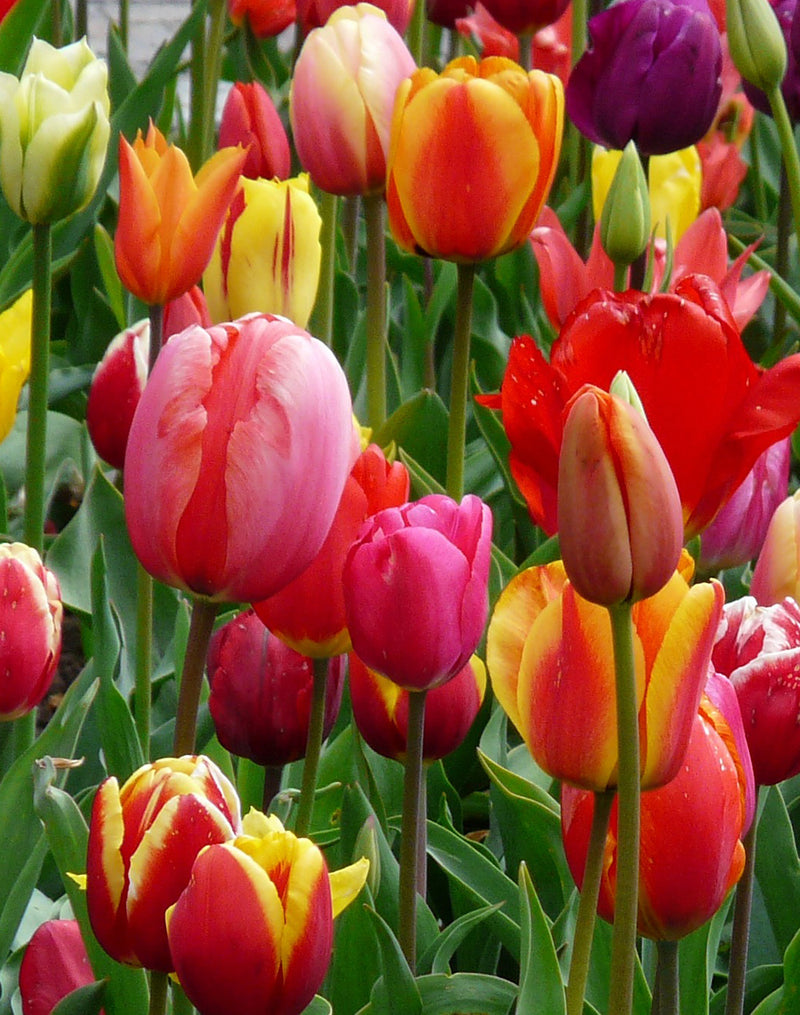 SOLD OUT Mixed Tulips - 30 bulbs