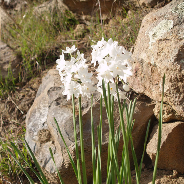 Paper Whites - a cheery January bloomer nestled in the rocks