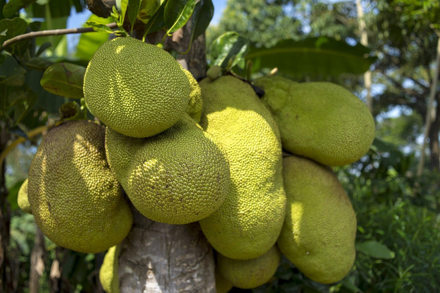 7 Shocking Facts That Proves The Jackfruit Is Amazing