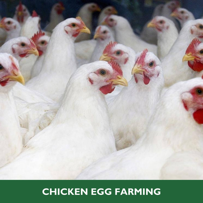 Chicken Egg Farming