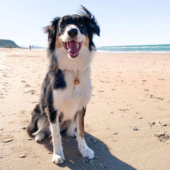 Border Collie on Sand at Beach