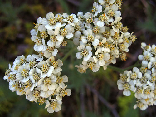 Yarrow flowers c/s - 1 pound