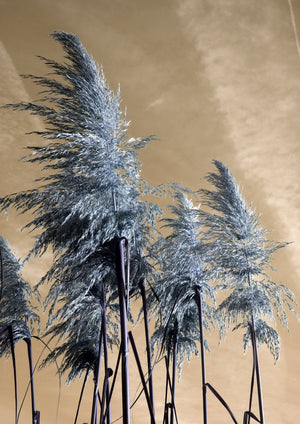 PAMPAS GRASS - HONEYMOON HOTEL