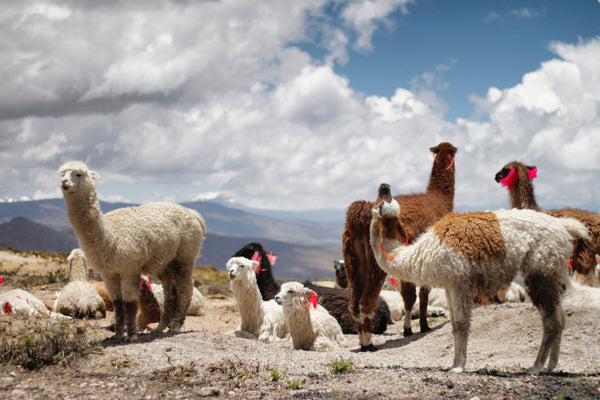 Alpacas Sustainable Fiber