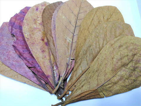 10 Indian Almond/Catappa Leaves 7-8""