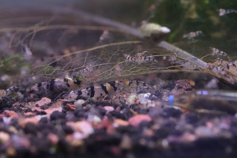 Raccoon Tiger Shrimp