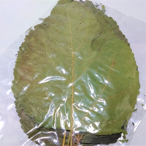 10 Large White Mulberry Leaves