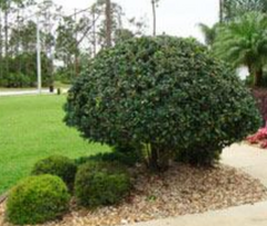Privacy Shrubs