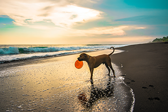 dog with frisbee on the beach