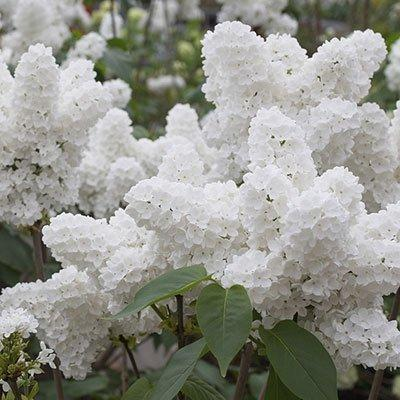 25Pcs Seeds White Japanese Lilac Seeds - AsitiGift