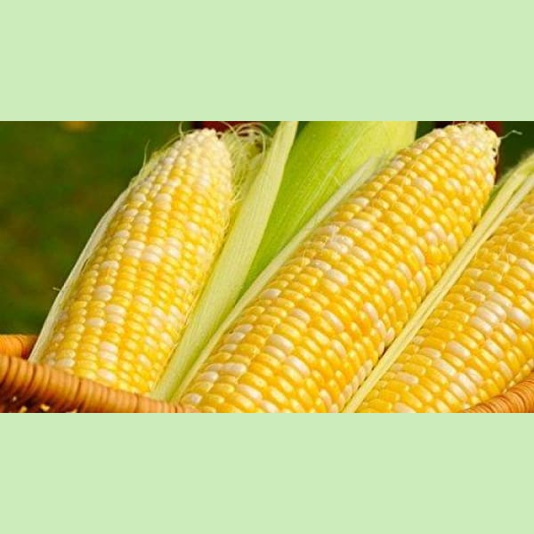 1 Pound Peaches & Cream Sweet Corn Seeds - AsitiGift