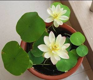 Dwarf Lotus Flower Mixed Colors Aquatic Plant Seeds - AsitiGift