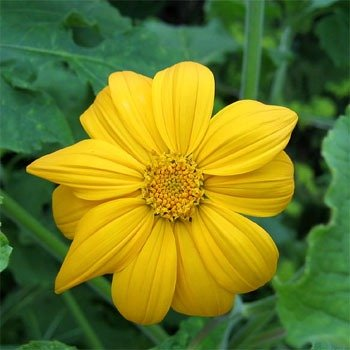 500Pcs Seeds Yellow Mexican Sunflower Seed - AsitiGift