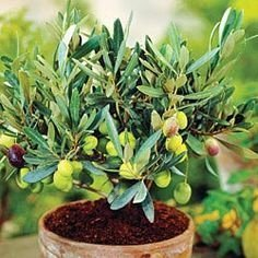 10 Seeds Dwarf Olive Tree indoor / outdoor Plant - AsitiGift