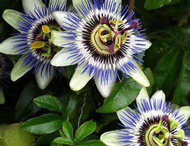 Blue Passion Flower Seeds ,Passiflora Caerulea, Fruit Plant - AsitiGift