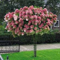 50Pcs Vanilla Strawberry Hydrangea Flower Seeds - AsitiGift
