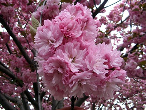 20Pcs Japanese Sakura Flowering Cherry Flower Seeds - AsitiGift