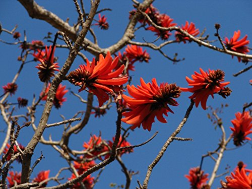 10 Seeds Erythrina lysistemon Common Coral Tree - AsitiGift