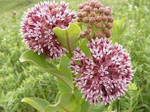 100Pcs Pink Common Milkweed Flower Seeds - AsitiGift