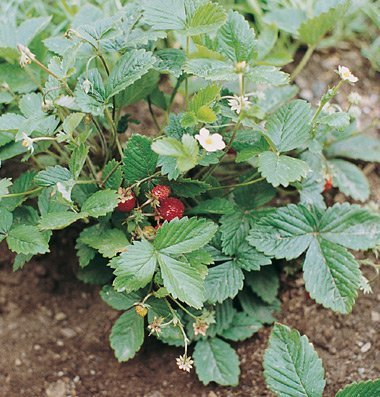 200Pcs Fruit Strawberry Alexandria Red Open Pollinated Seeds - AsitiGift